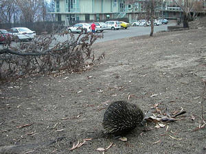 Echidna, foraging among the ashes a week after the fire